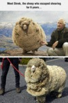 Meet Shrek The Sheep...