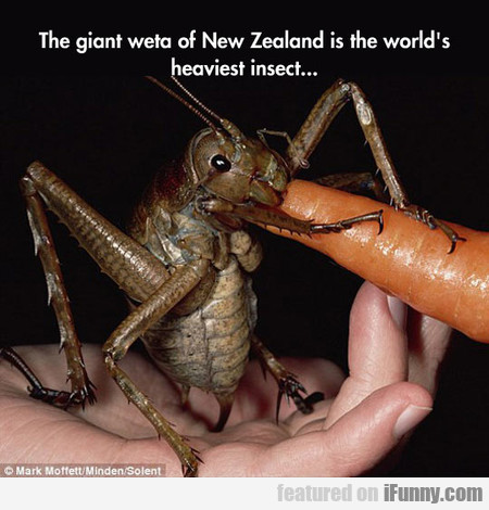 The Giant Weta Of New Zealand Is The World's...
