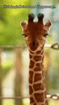 This Baby Giraffe Is Not Amused By Your Crap