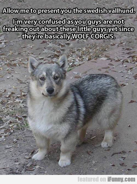 Allow Me To Present You The Swedish Vallhund