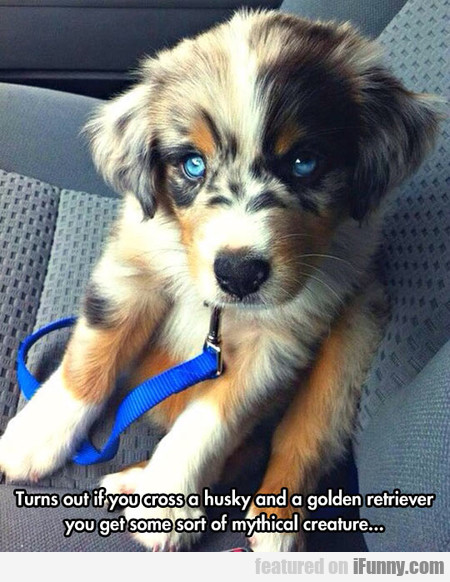 turns out if you cross a husky and a golden...