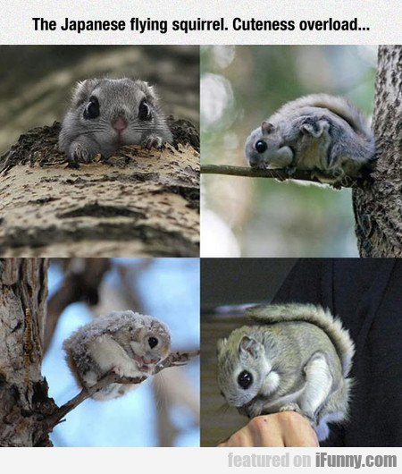 The Japanese Flying Squirrel. Cuteness Overload...