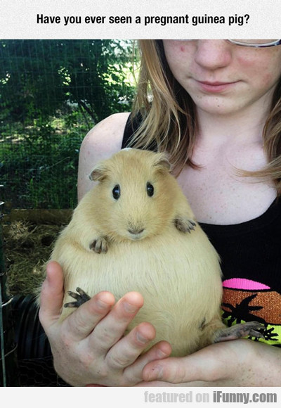 have you ever seen a pregnant guinea pig?