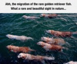 The Migration Of The Rare Golden Retriever Fish
