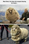 Shrek, The Sheep Who Escaped Shearing For 6 Years