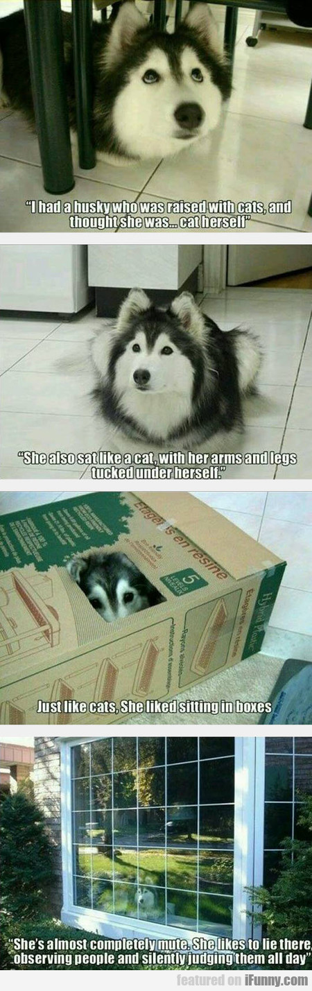 The Husky That Was Raised By Cats
