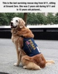 This Is The Last Surviving Rescue Dog From 9-11
