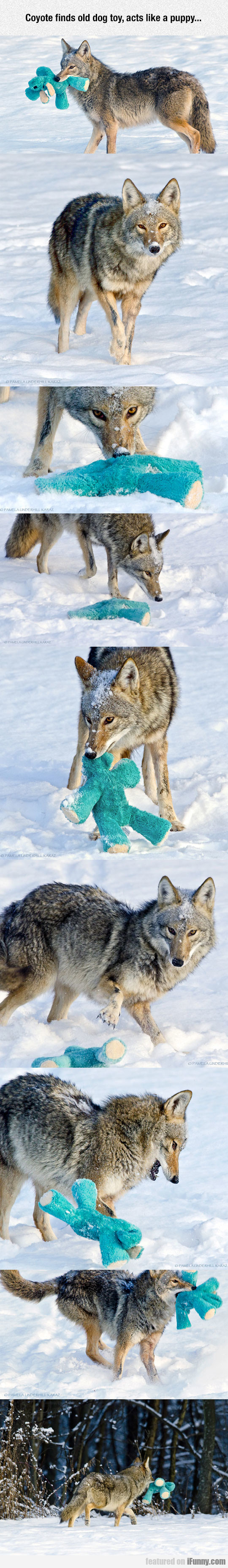 Coyote Finds Old Dog Toy, Acts Like A Puppy...