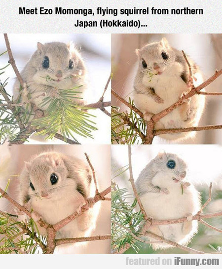 Meet Ezo Momonga, Flying Squirrel From Japan