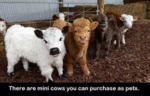 There Are Mini Cows...