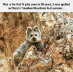 This Is The First Ili Pika Seen In 20 Years
