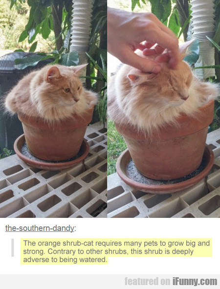 The Orange Shrub-cat Requires Many Pets