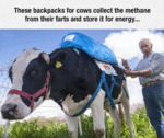 These Backpacks For Cows Collect The Methane