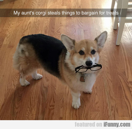 My Aunt's Corgi Steals Things To Bargain