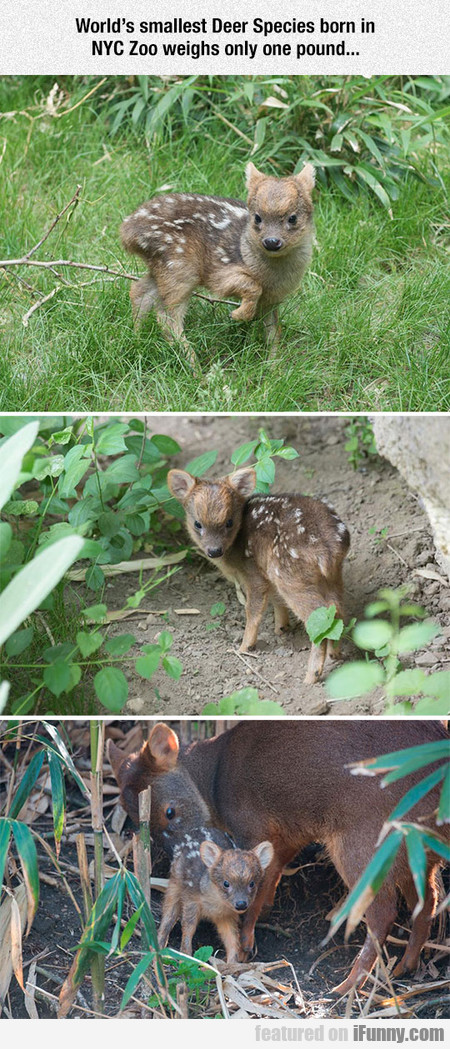 World's Smallest Deer Species Born In Nyc Zoo