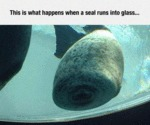 This Is What Happens When A Seal Runs Into Glass..