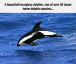 A Beautiful Hourglass Dolphin