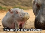 They Start Out As Just A Potamus