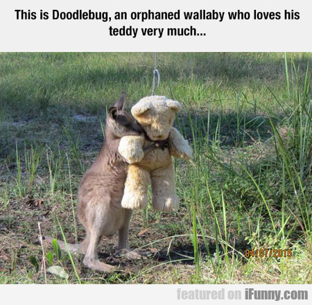 This Is Doodlebug, An Orphaned Wallaby Who Loves..