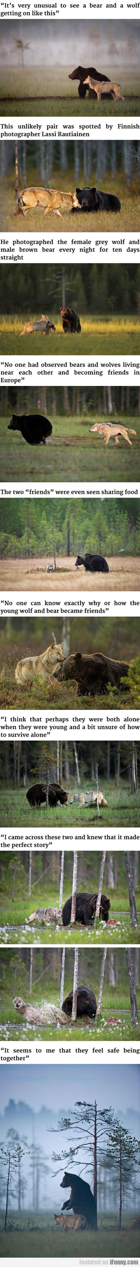 it's very unusual to see a bear and a wolf