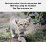 Sand Cats Retain A Kitten-like Appearance Their...