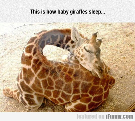 This Is How Baby Giraffes Sleep...