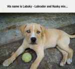 His Name Is Labsky: Labrador And Husky Mix...
