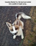Canadian Marble Fox. My Heart Just Melted