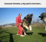 Caucasian Ovcharka, A Dog Used To Hunt Bears...