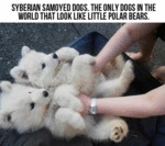 Syberian Samoyed Dogs Look Like Little Polar Bears