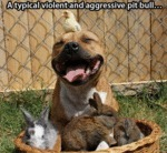A Typical Violent And Aggressive Pit Bull