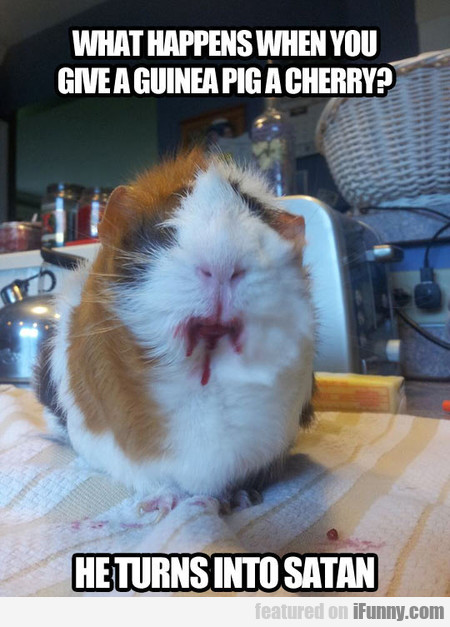 what happens when you give a guinea pig a cherry