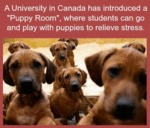 A University In Canada Has Introduced A Puppy Room
