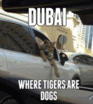 Dubai - Where Tigers Are Dogs