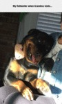 My Rottweiler When Grandma Visits...