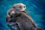 Sea Otter Pups Sleep On Their Moms