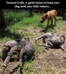 Coconut Crabs, A Good Reason To Keep Your Dog...