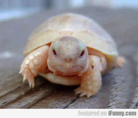 What An Baby Albino Turtle Looks Like