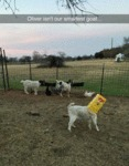 Oliver Isn't Our Smartest Goat...