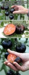 Britain's First Black Tomatoes