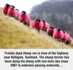 Freshly Dyed Sheep Run In View Of The Highway