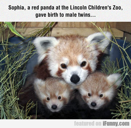 red pandas at the Lincoln Children's Zoo