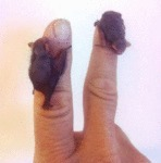 Baby Bats So Tiny They Can Cuddle Your Finger