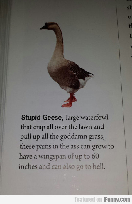 stupid Geese, large waterfowl