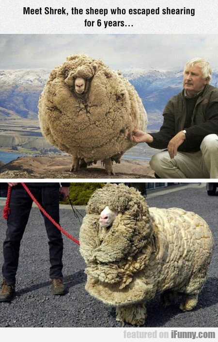 The Sheep Who Escaped Shearing For 6 Years