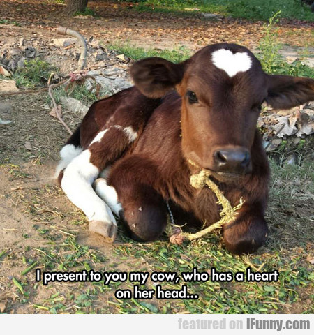 i present to you my cow