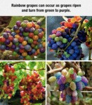 Rainbow Grapes Can Occur As Grapes Ripen