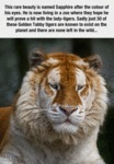 These Golden Tabby Tigers Are So Rare