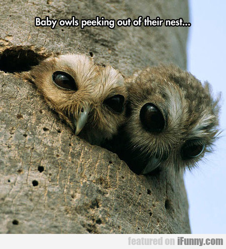 baby owls peeking out of their nest