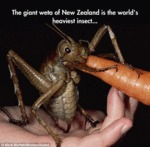 The Giant Weta Of New Zealand